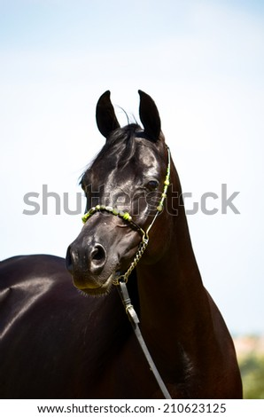 a horse portrait of a big beautiful arab mare with a blue sky and clouds in the  background - stock photo