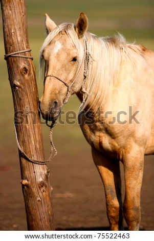 A horse tie to a pole at Inner Mongolia. - stock photo