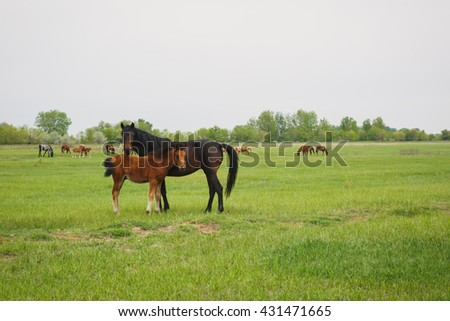a horse with a foal grazing in a meadow in summer day - stock photo
