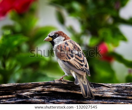 A House Sparrow perched on a split log with a floral background.