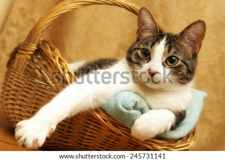 A housecat rests comfortably in a wicker basket. - stock photo