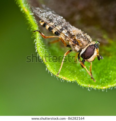 A hoverfly sits on a leaf, covered in raindrops.
