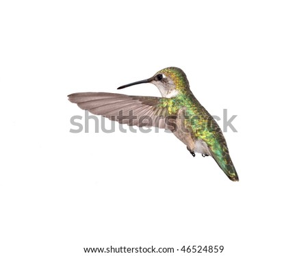 A hovering female Ruby-throated Hummingbird isolated on white.