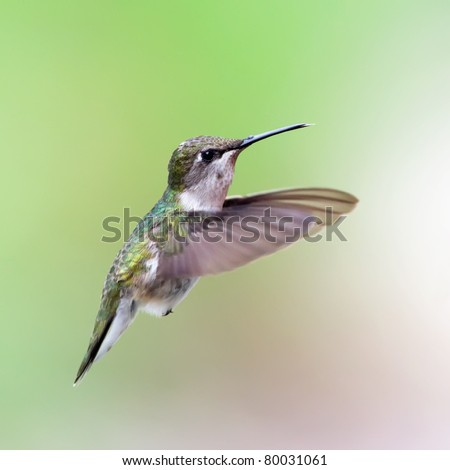 A hovering Ruby-throated Hummingbird with a green background. - stock photo