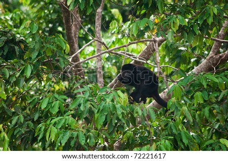 A Howler Monkey Climbing in a Tree - stock photo