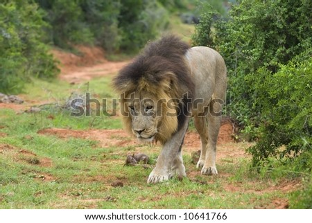 A huge African Male Lion carefully approaches the Photographer