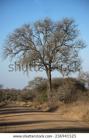 A huge and ancient Knobthorn Acacia tree stands alongside a lonely road in the African Bush - stock photo