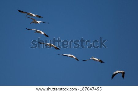 A huge bird with a massive wingspan, the American white pelican fly in formation effortlessly and with grace. They are a migratory bird and after wintering on the coast are going inland to breed. - stock photo