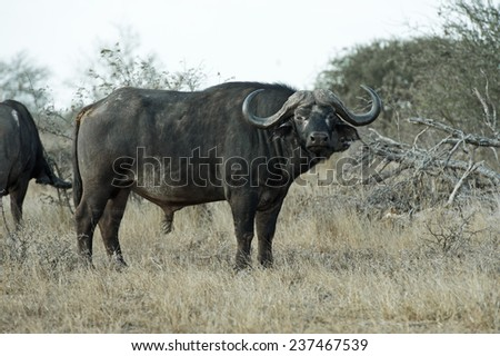 A huge Buffalo Bull stares at the camera  - stock photo