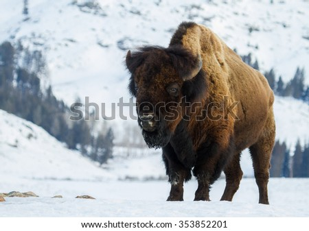 a huge bull bison stands angling toward the camera in a snowy yellowstone winter landscape - stock photo