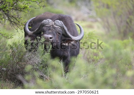 A huge Cape Buffalo bull in this image. South Africa - stock photo