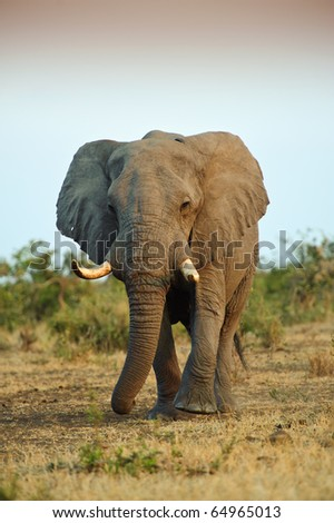 A huge Elephant Bull approaches at Sunset - stock photo