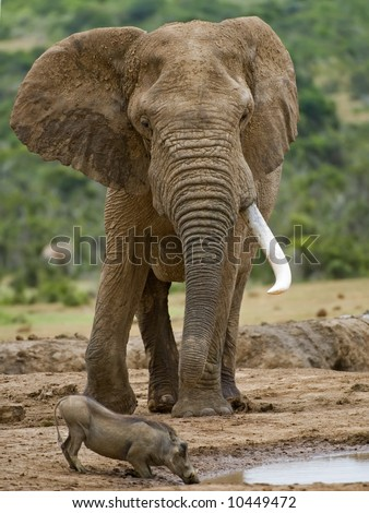 A huge Elephant towers over a drinking Warthog - stock photo
