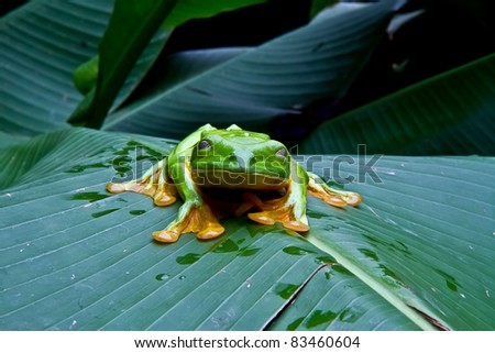 A huge flying tree frog blinks for the camera In Costa Rica. - stock photo