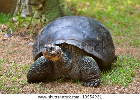 A huge galapagos tortoise rests for a moment. - stock photo