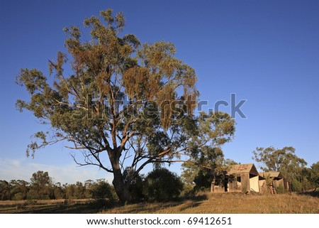 A huge gum tree in front of an old derelict timber house. Outback Australia. Early morning light