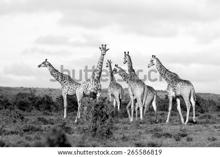 A huge herd of adult giraffe in black and white. - stock photo