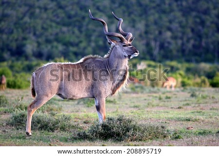 A huge Kudu Bull in this image. - stock photo
