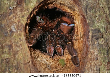 A HUGE Malaysian Earth Tiger Tarantula guards her tree burrow in the jungles of Borneo. Similar to Cyriopagopus thorelli, this unidentified species is beautifully colored in pink, purple & blue. - stock photo