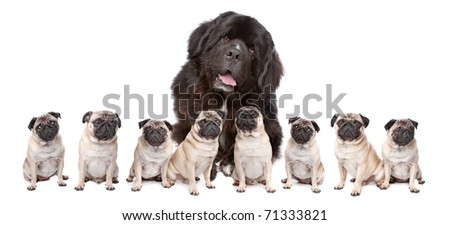 A huge newfoundland dog and eight pugs sitting in a row isolated on a white background - stock photo