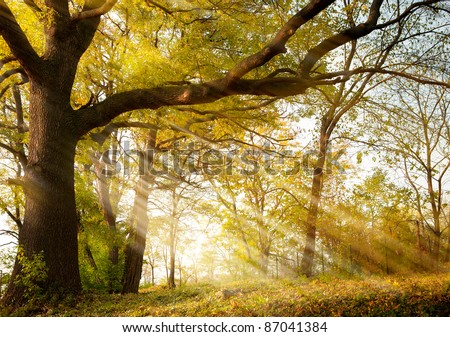 a huge old oak tree in autumn park lighted sun sunrise