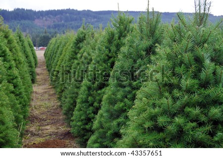 A Huge Oregon Christmas Tree Farm in a rural country area of the state. - stock photo