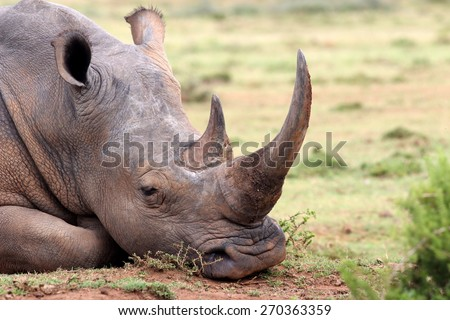 A huge rhino / rhinoceros rests, showing off his huge horn. South Africa
