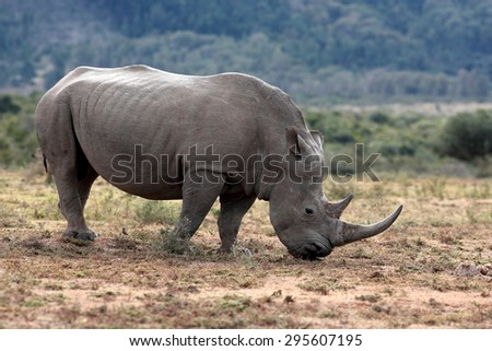 A huge rhinoceros / rhino grazing in this image. South Africa