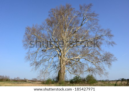 A huge sycamore.