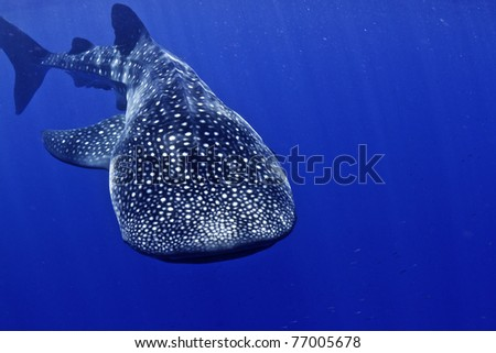 A huge whale shark swims towards the camera