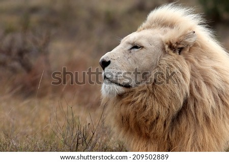 A huge white lion lying down in this portrait. South Africa. - stock photo