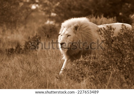 A huge white lion male on the move in sepia tone. - stock photo