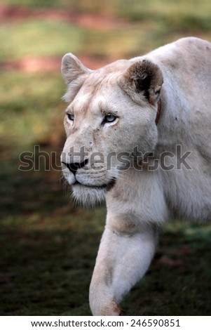 A huge white lioness in her stride. - stock photo