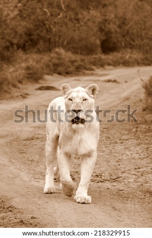 A huge white lioness on the move in this sepia tone image. - stock photo
