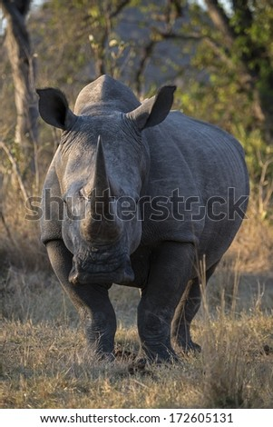 A huge White Rhino Bull  - stock photo