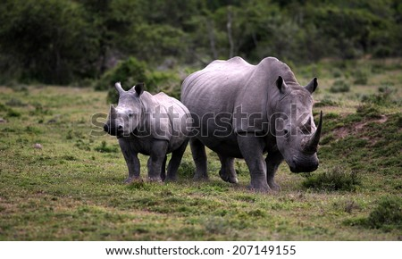 A huge white rhino / rhinoceros cow and calf in this image. - stock photo