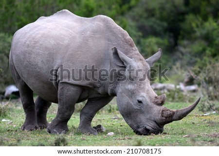 A huge white rhino with a big horn. - stock photo