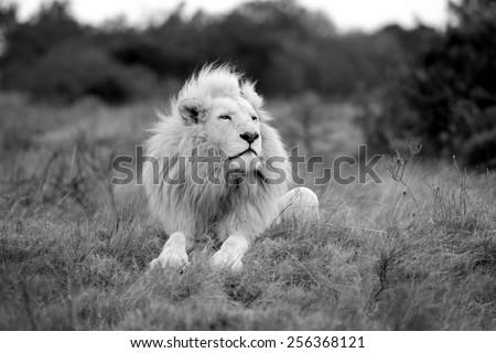 A huge wild white male lion with a very impressive mane sits proudly while smelling the air. - stock photo