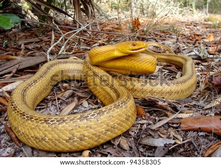 A huge yellow snake coiled and hissing in sandy palmetto forest - Yellow Rat Snake, Pantherophis obsoleta quadrivittata - stock photo