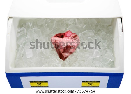 a Human Heart lays on a bed of ice in an ice chest ready for transplant from an organ donor. isolated on white with room for your text - stock photo