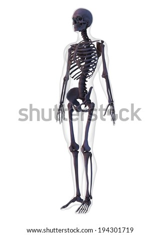 A human skeleton standing upright with a faint outline of a body. - stock photo