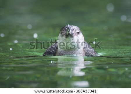 A Humboldt Penguin facing the camera. - stock photo