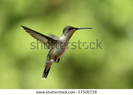 A Hummingbird hovering near my feeder in Wright City, Missouri. - stock photo