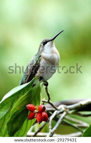 A hummingbird perched on a branch with red berries, vertical with copy space - stock photo