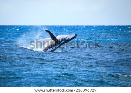 A hump back whale breaching in the Atlantic Ocean