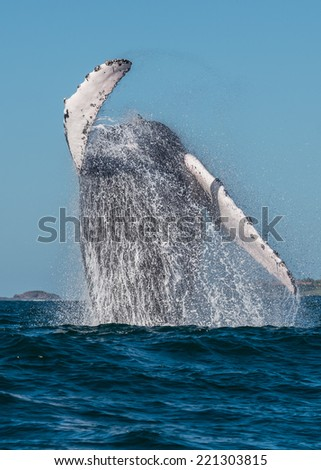 A humpback whale breaching in La Bahia de Banderas, Mexico - stock photo