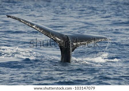 A Humpback Whale Dives Near Maui, Hawaii. - stock photo