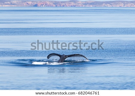 A humpback whale diving in the Kimberley, Australia