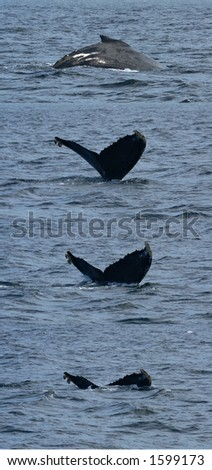A humpback whale diving off the coast of Santa Barbara, California - stock photo