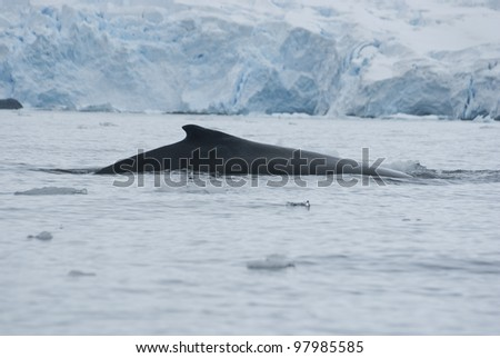 A humpback whale in the Southern Ocean, on the background of the islands-3.